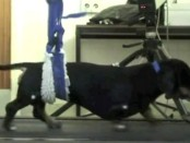 daschund on treadmill