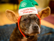 dog wearing elf hat
