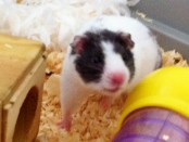 adopt a hamster