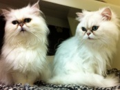 Chinchilla persians