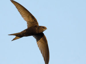 swift bird gliding in the sky